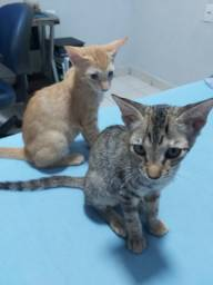 Doação de gatinhos (Vermifugados)