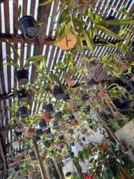 Vende lote de orquídea