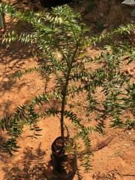 Mudas de Araucaria bidwillii (Pinheiro Bunia)
