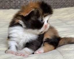 Bela Gata Show de Persa filhote Feméa tricolo pelo longo extremada,super P/reserva linda