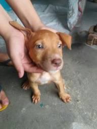 linda filhote de pit Bull Red nossa olhos claro sangue puro