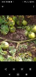 Tomate variedade TY 2006