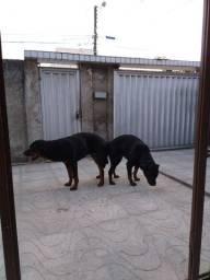 Rottweiler / Filhotes para reserva com pedigree