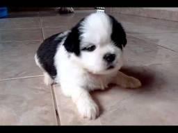 Disponiveis Shihtzu Pets