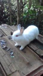 Mini coelho anão Holandês.