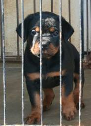 Filhotes de Rottweiler MACHO Apenas VENDA com pedigree CBKC