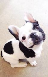 Bulldog Francês pirata/tigrado/fulvo/branco, somos a unica loja com 7 clinicas pra você!