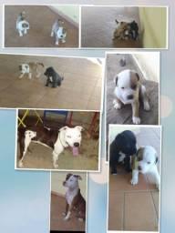 Filhotes de pitbull em Ipanema MG