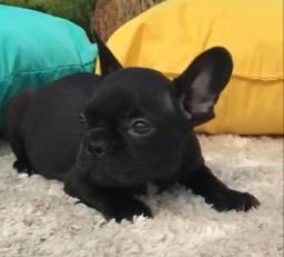 Bulldog Frances Fêmea Preta