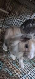 Coelho filhote lion head