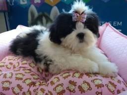 Lhasa Apso fêmea filhotes disponível em nossa loja Snow dog Shopping Cidade