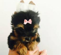 Lindas Yorkshire Terrier