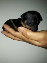 Vendo filhotes de miniatura pinscher n°01