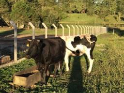 Vendo 2 vacas por 4.500