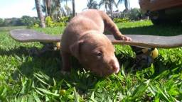 Filhote American Pitbull Terrier fêmea 1 mês