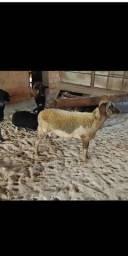 Carneiro ovelha
