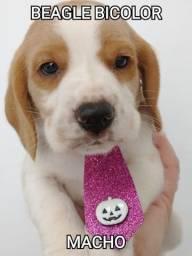 Filhote de beagle macho, bicolor