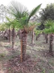Palmas CICA / Palmeiras Trachycarpus BURITI