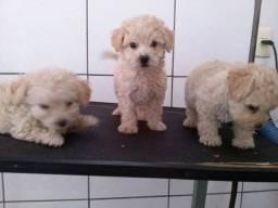 Poodle macho e fêmea filhotes
