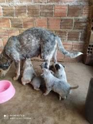 Vendo filhotes de boiadeiro Australiano