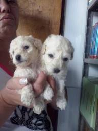 POODLES TOY OS MENORES