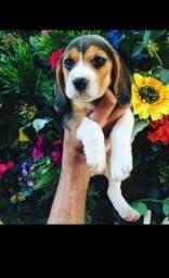 Beagle -Verdadeiro Amor