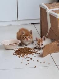 Filhotinhos de gato para adoção
