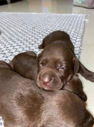 Fêmea de Labrador chocolate com pedigree, linda