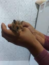 Casal de hamster com gaiola completa