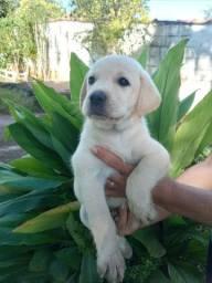 Labrador Retriever com pedigree e microchip