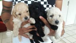 Cachorinhos poodle