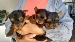 Filhotes de yorkshire terrier machos