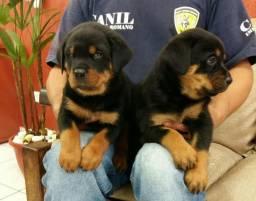Segurança e Companhia Cão de Guarda Rottweiler Cabeçudo e Robusto