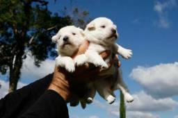 West Highland White Terrier - Lindos Filhotes com Pedigree CBKC