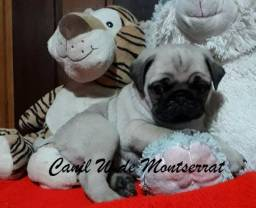 Pug mini machos e fêmeas vacinados com pedigree/ 985527685 whats