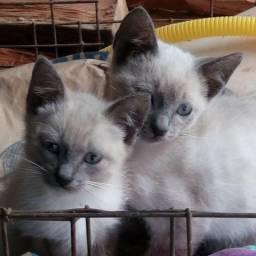 Doação gatinho siâmes