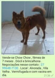 Vende-se Chow Chow