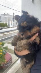 Filhote de yorkshire terrier puro