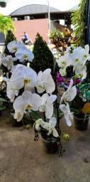 Orquídeas cascatas pendente