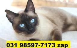 Gatil em BH Lindos Filhotes de Gatos Siamês Persa ou Angora