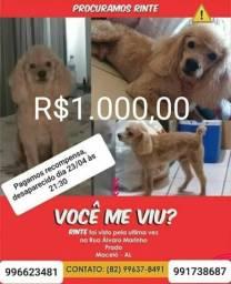 Poodle R$1000,00