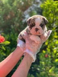 Bulldog Inglês bebês, com suportes vet
