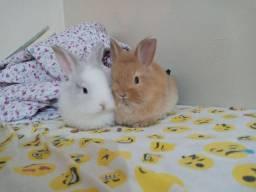Casal de mini coelhos