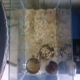 Vendo hamster sírios