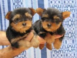 Filhote de Yorkshire Terrier FÊMEA/ ULTIMA