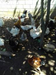 Vendo combo de galinhas de raça e marrecos  35 aves