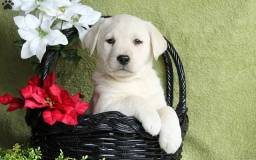 Labrador lindos bbs