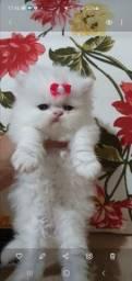 Linda filhote de gata persa brancañ femea pura