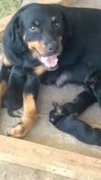Estou com filhote de rottweiler disponível eles nasceram 15maio