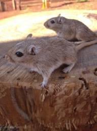Esquilo da mangolia, Gerbil